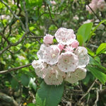Image of Kalmia latifolia