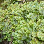 Image of Marchantia polymorpha