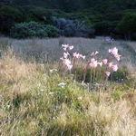 Image of Amaryllis belladonna