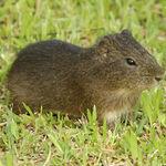 Image of Cavia porcellus