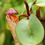 Shield-leaved pitcher-plant