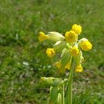 Image of Primula veris