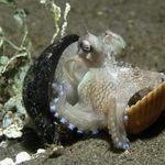 Image of Amphioctopus marginatus