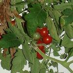 Image of Solanum lycopersicum
