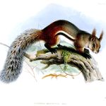 Tufted ground squirrel