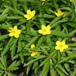 Image of Anemone ranunculoides