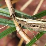 Image of Chorthippus brunneus