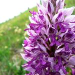 Image of Orchis militaris