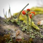 Image of Cladonia cristatella