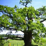 Image of Quercus robur