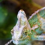 Image of Chamaeleo chamaeleon