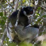 Image of Indri indri