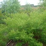 Image of Mimosa verrucosa