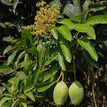 Image of Mangifera indica