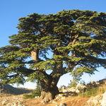 Image of Cedrus libani