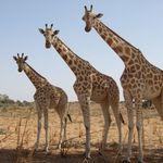 Image of Giraffa camelopardalis