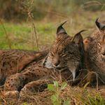 Image of Lynx pardinus