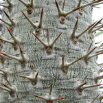 Image of Pachypodium lamerei
