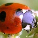 Image of Coccinella quinquepunctata