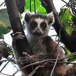Image of Lemur catta