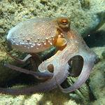 Image of Octopus vulgaris