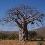 Image of Adansonia digitata