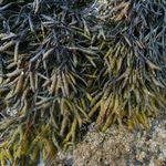 Image of Pelvetia canaliculata