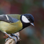 Image of Parus major