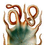 Image of Haliphron atlanticus