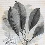 Image of Palaquium gutta