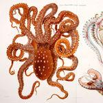 Image of Callistoctopus macropus